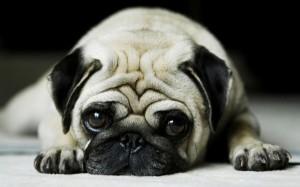 cute-pug-dog-wide-600x375